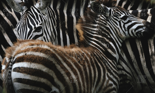 A young plains zebra next to its mother, Equus burchellii, early in the morning in Ngorongoro crater.
