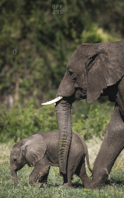African elephant, Loxodonta africana,  with its cub, at the Ngorongoro crater.