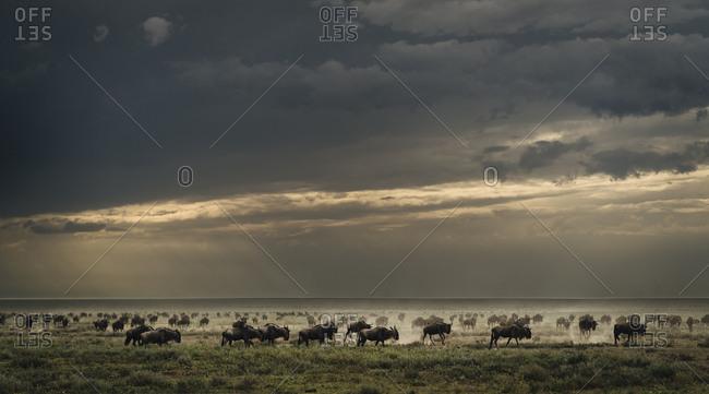 Blue wildebeest migration, Connochaetes taurinus, in the Southern Serengeti's Ndutu plains.