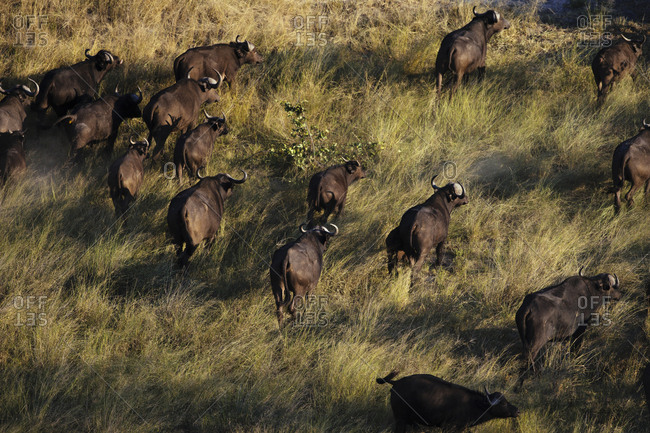 A herd of African buffalos, Syncerus caffer, crossing the plains of the Okavango Delta.