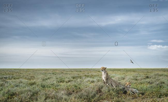 Alert cheetahs, Acinonyx jubatus, on a mound in Southern Serengeti.