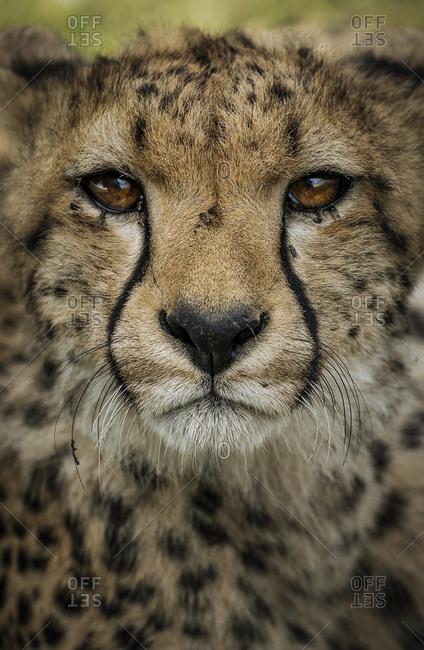 Cheetah face, Acinonyx jubatus, in Southern Serengeti.