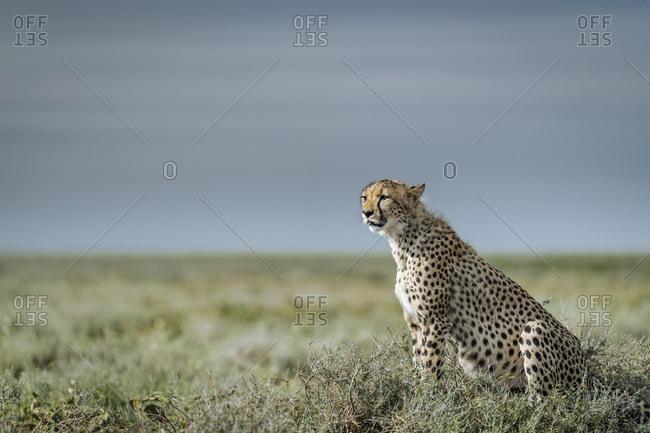 Alert cheetah, Acinonyx jubatus, on a mound in Southern Serengeti.