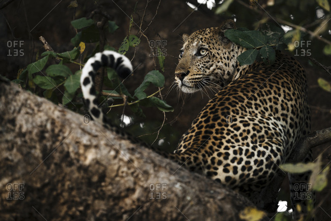 A male African leopard, Panthera pardus pardus, on a branch tree in South Luangwa.