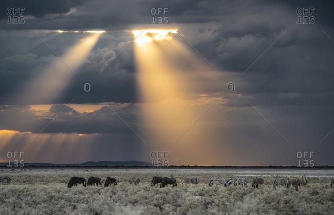 Blue wildebeest, Connochaetes taurinus, and plains zebras, Equus burchellii, grazing.