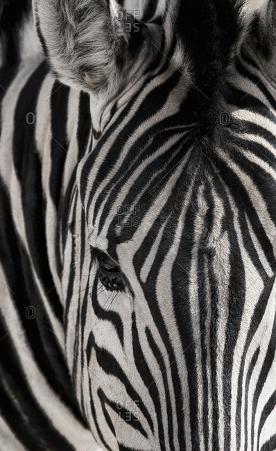 Portrait of a plains zebra, Equus burchellii, in Etosha National Park.
