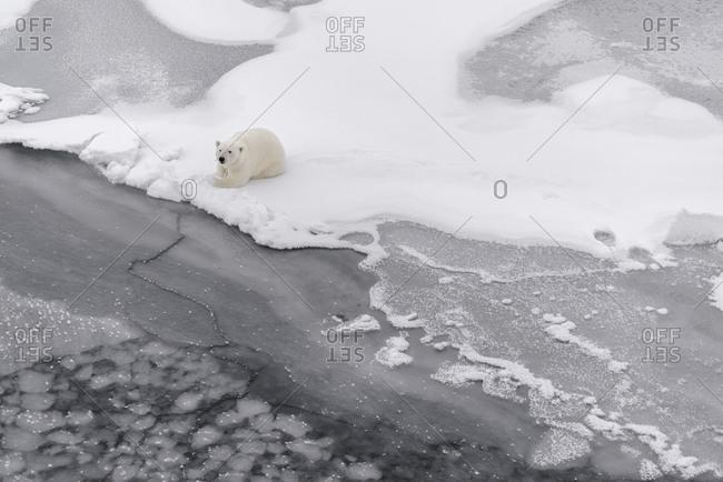 Polar bear, Ursus maritimus, walking on the pack ice in Svalbard.