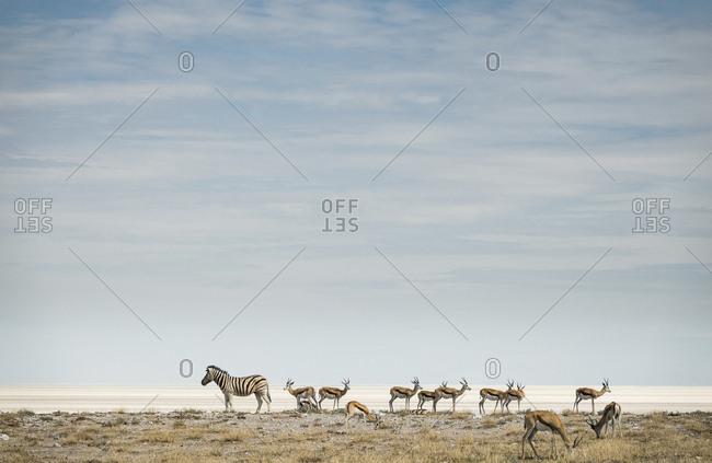 Plains zebras, Equus burchellii, and springbok, Antidorcas marsupialis.