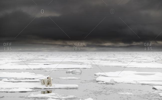 Polar bear, Ursus maritimus, walking on the pack ice.