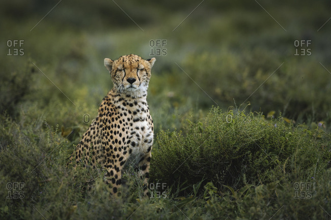 Portrait of a male cheetah, Acinonyx jubatus, in Southern Serengeti National Park.