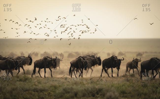 Blue wildebeest migration, Connochaetes taurinus, walking at sunset in Southern Serengeti National Park.