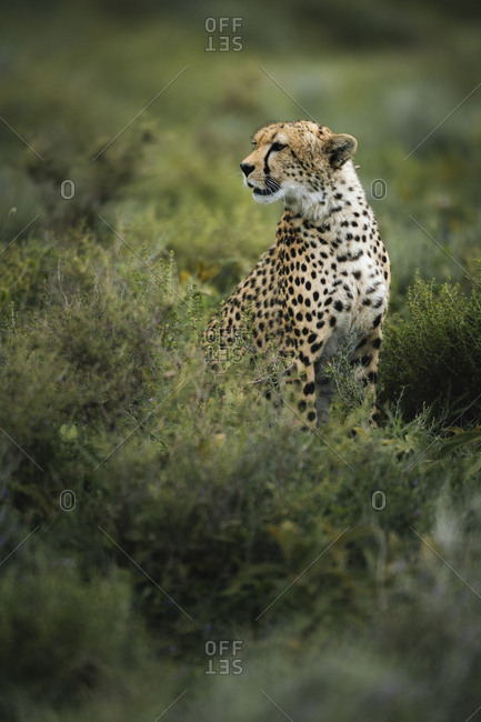 Portrait of a male cheetah, Acinonyx jubatus, in the Southern Serengeti National Park.