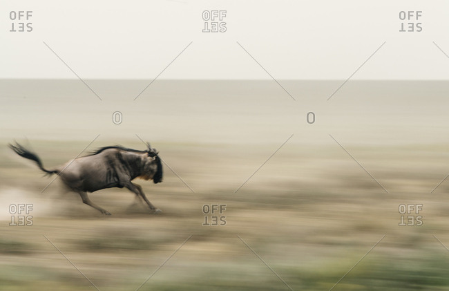 Blue wildebeest, Connochaetes taurinus, running in the open plains during the great migration in Southern Serengeti National Park.