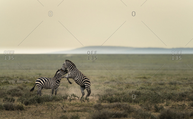 Two plains zebras, Equus burchellii, fighting in Southern Serengeti National Park.