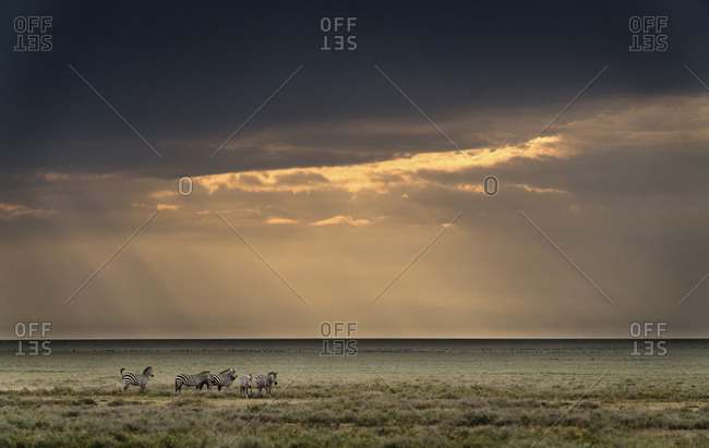 Plains zebras, Equus burchellii, with an heavy sky in Southern Serengeti National Park.