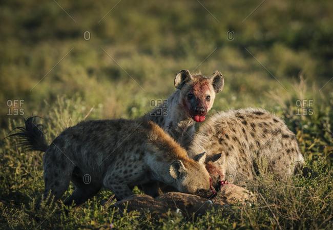 A clan of spotted hyena, Crocuta crocuta, feeding on a blue wildebeest, Connochaetes taurinus, killed earlier, in Southern Serengeti National Park.