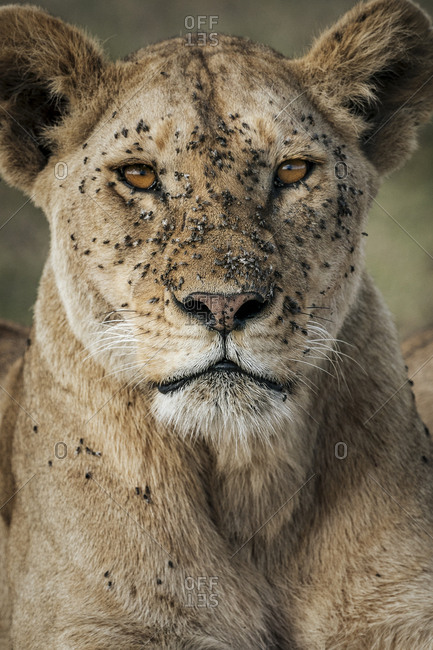 Lioness face with flies, Panthera leo, in Southern Serengeti National Park.