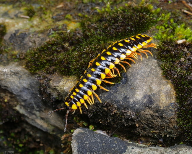 A Yellow-Spotted Millipede, Anoplodesmus species, crawling.
