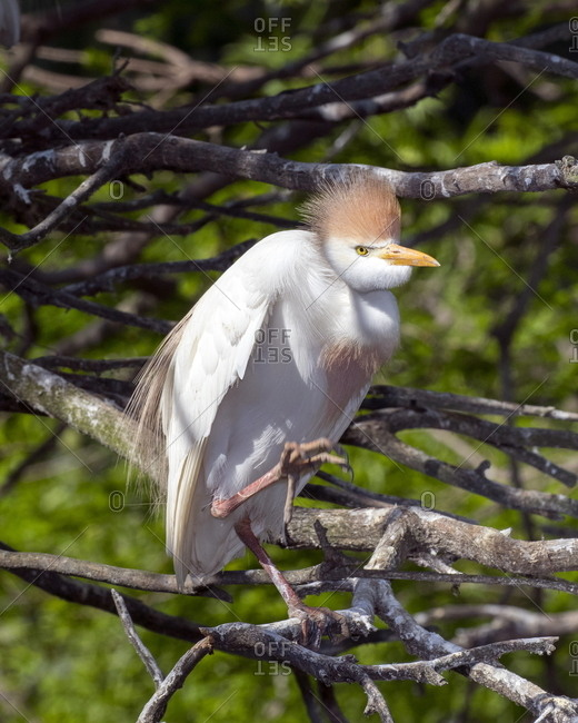 The cattle egret, Bubulcus ibis, in breeding plumage at a rookery.