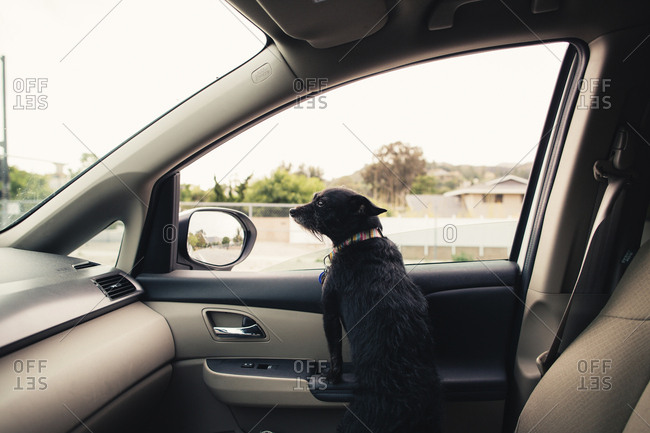 Small black dog in a colorful collar looking out the car windshield