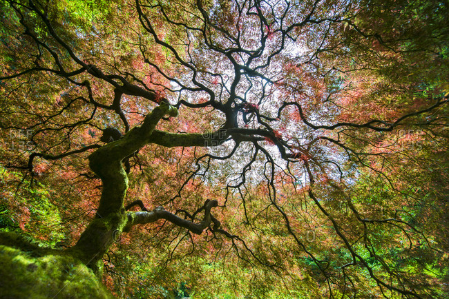 Low angle view of Japanese Maple during autumn