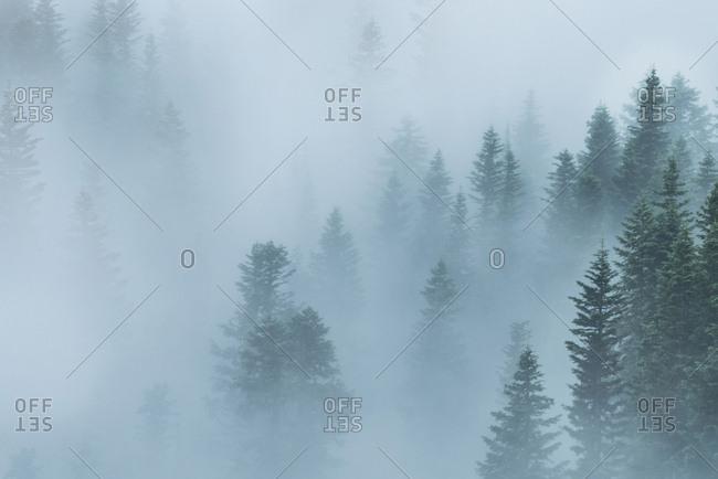 Dense fog covering a treeline of the Crater Lake National Park, Oregon