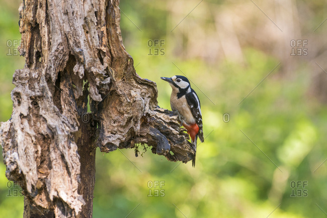 Woodpecker on a decaying tree