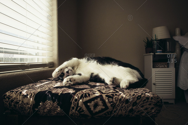 Black and white cat relaxing on pet bed by window