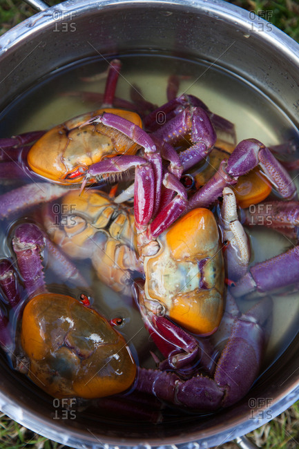 Red mangrove crabs in a cooking pot with water