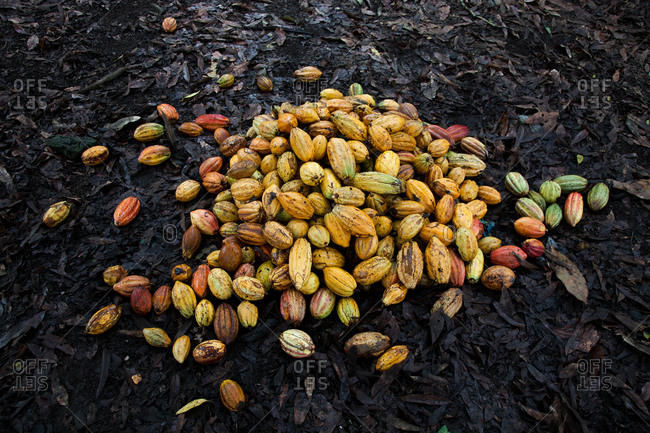 Ripe cocoa fruit on a pile of wet leaves