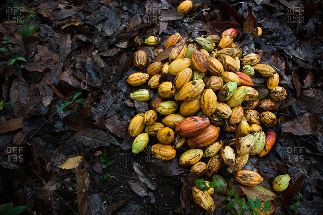 Pile of cocoa fruit on a bed of wet leaves