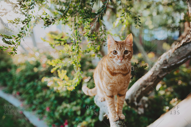 Orange cat walking on a tree branch