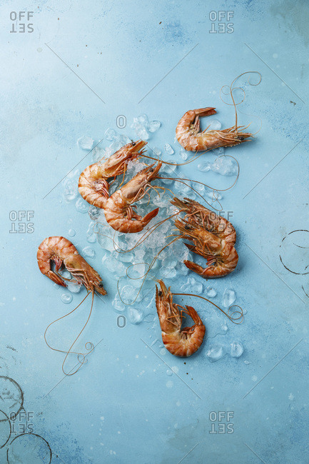 Boiled pink Tiger Prawn Shrimp on ice on blue background
