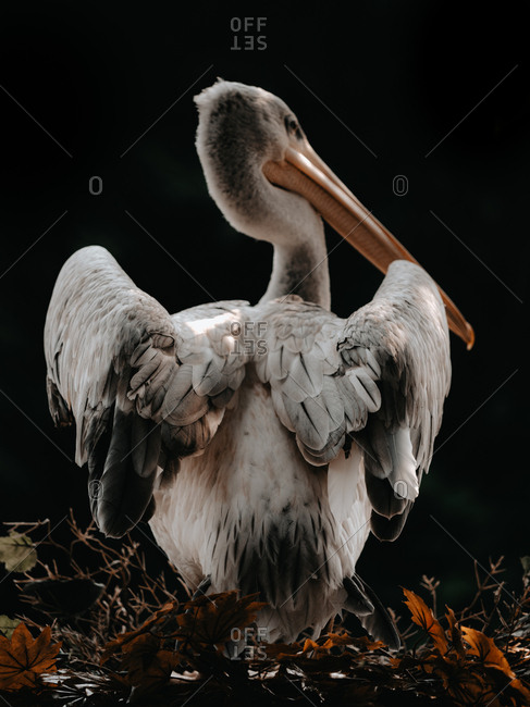 Portrait of a pelican on a black background