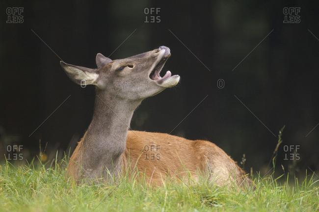 Doe (Cervus elaphus) lying in grass