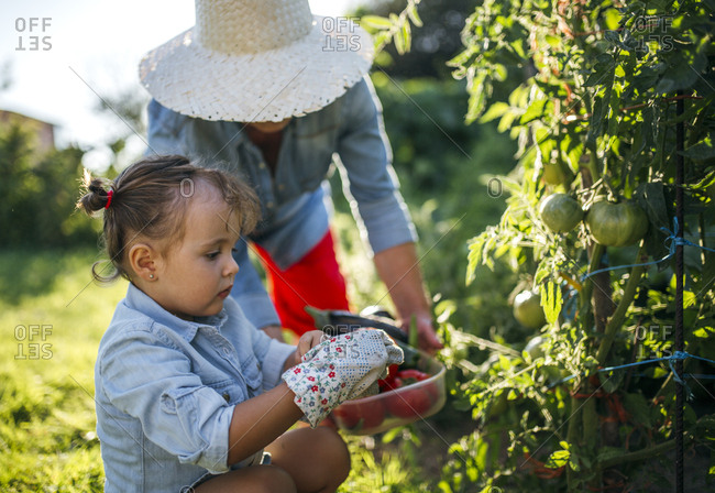 Senior woman and her little granddaughter harvesting tomatoes in the garden