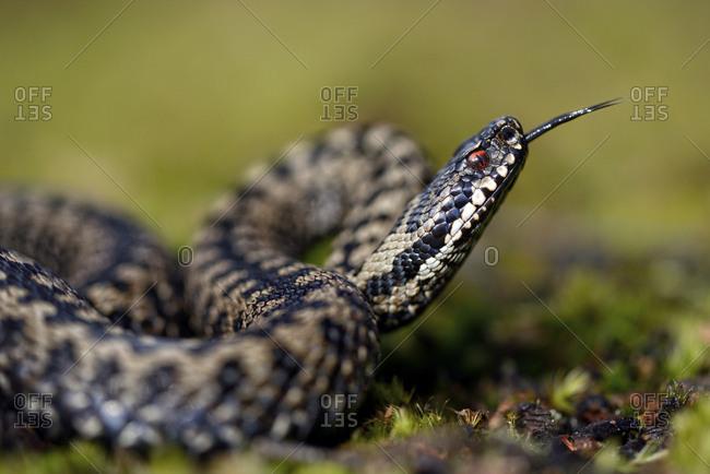 England- European adder- Vipera berus