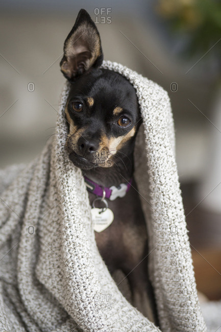 Chihuahua under a blanket