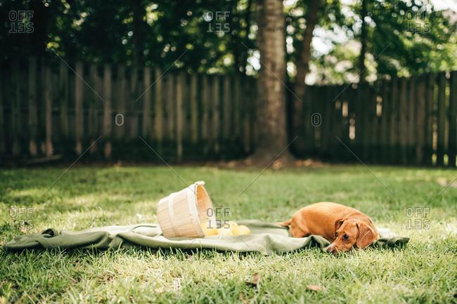 A dog rests next to a basket of spilled lemons