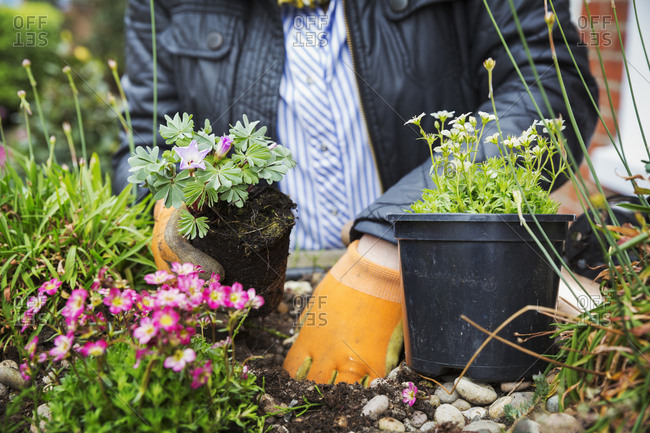 Close up of person wearing gardening gloves planting flower in a flower bed