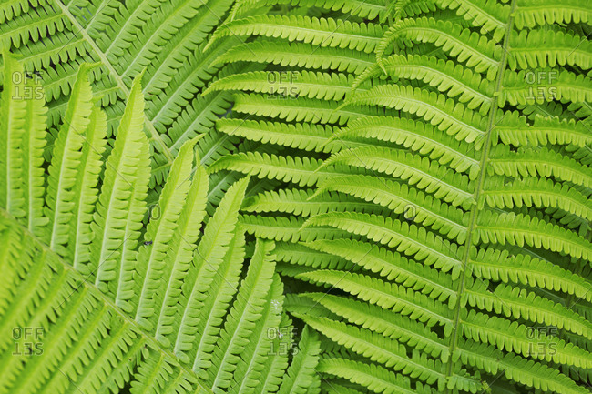Full frame close up of fern fronds