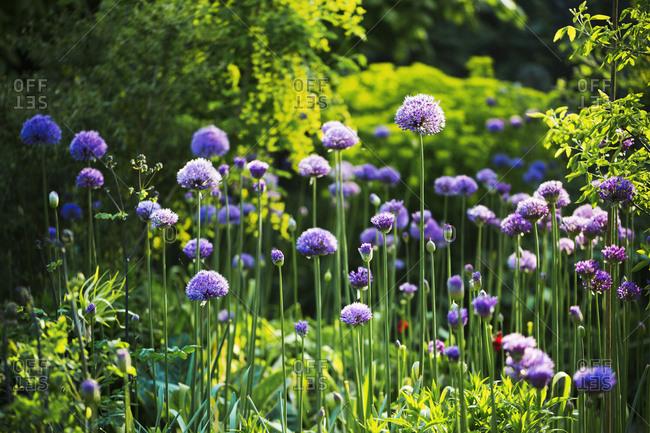 Purple Allium in a garden