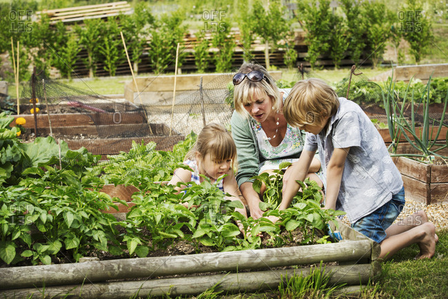 Woman, boy and girl kneeling by a vegetable bed in a garden