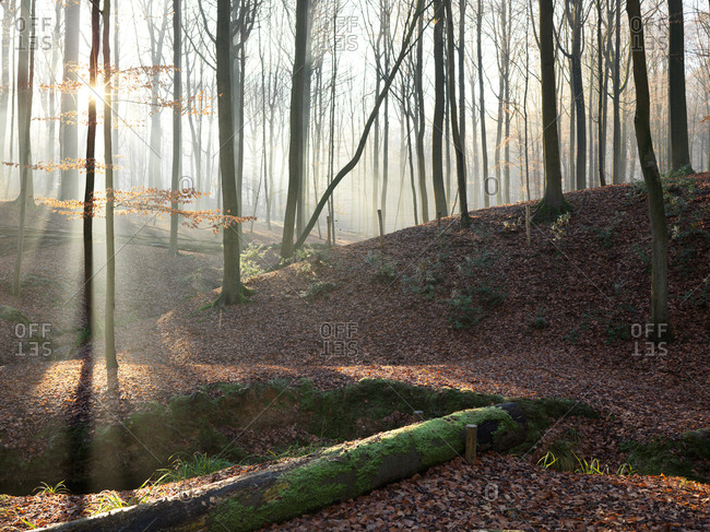 A small path on a forest with a warm yellow sunlight filtering throughout the trees and a light fog on a cold winter day
