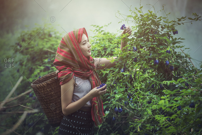 Beautiful Asian woman farmer in herbs pavilion, harvest butterfly pea, agriculture organic small business farming