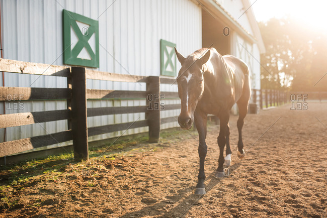 Horse walking in dirt beside a barn at sunset