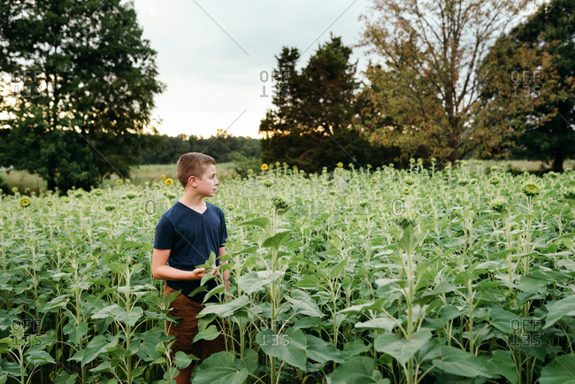 Boy standing in a sunflower field at sunset