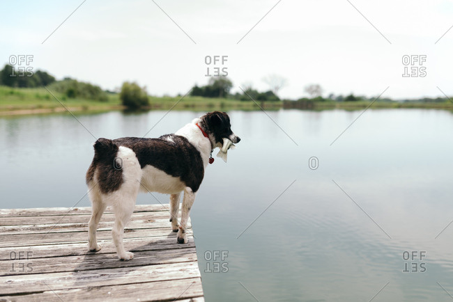 Dog standing on a pier with a fish in its mouth
