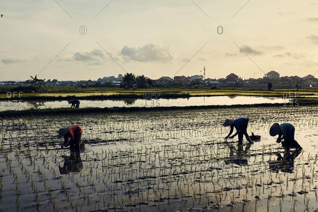 People working in rice field in Bali