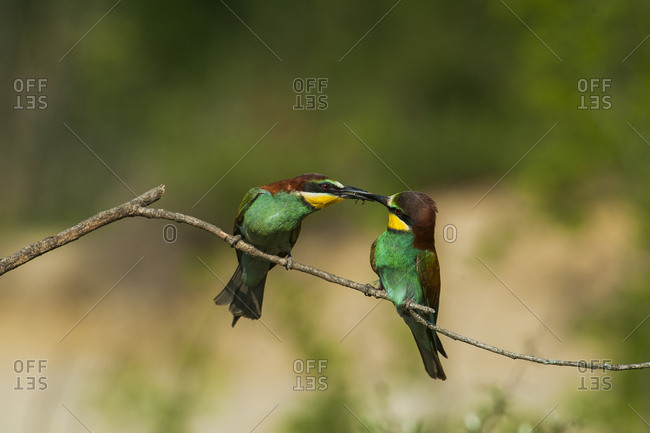 Two brightly colored birds with an insect in between their beaks